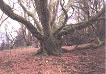 Graphic of giant beech in the Hafod grounds
